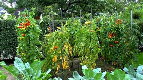 Tomaten Im Garten by Tomaten Im Garten Ziehen Carprola For