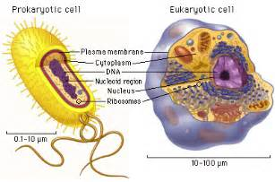 where in a eukaryotic cell does translation occur science 2pt0 dna review period 1