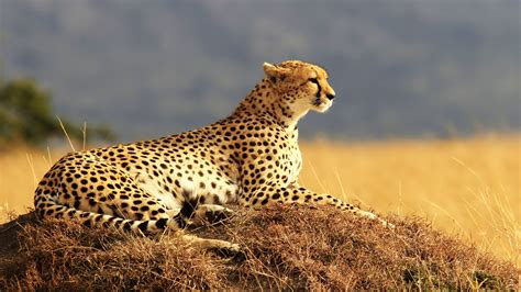 wallpaper cheetah maasai mara national reserve kenya