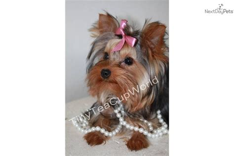 teacup yorkie adults terrier yorkie puppy for sale near arizona 68ade01c 8a01