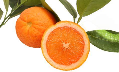 potatura arancio in vaso pianta di arancio vaniglia in vaso 20 22 cm savini vivai
