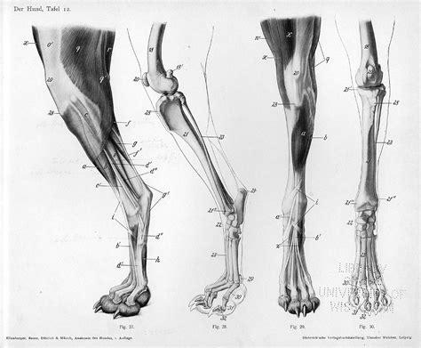 paw anatomy canine on animal anatomy anatomy and foot anatomy