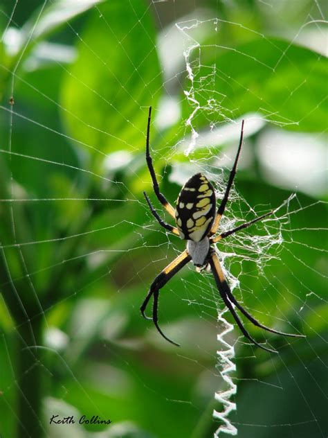 Garden Spider In Pa Franklin County Pa Gardeners Shelob S Cousin In The Peppers