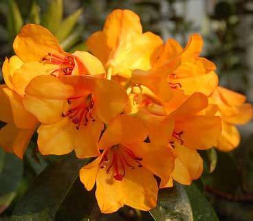 wallpaper bunga asli bunga rhododendron asli indonesia alamendah s blog