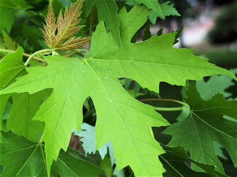 isu forestry extension tree identification silver maple acer saccharinum