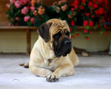english mastiff dog house top 25 best english mastiffs ideas on pinterest english