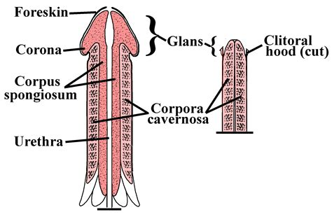how big is a section file penile clitoral structure jpg wikipedia
