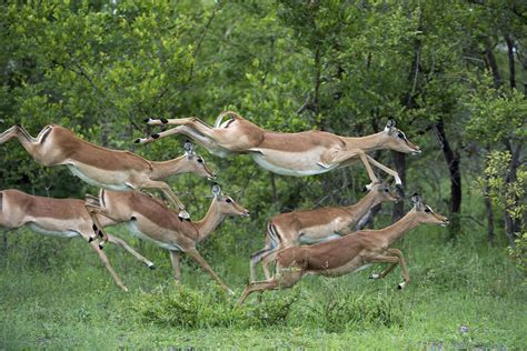 impala herd running sabi sands photograph by sergey