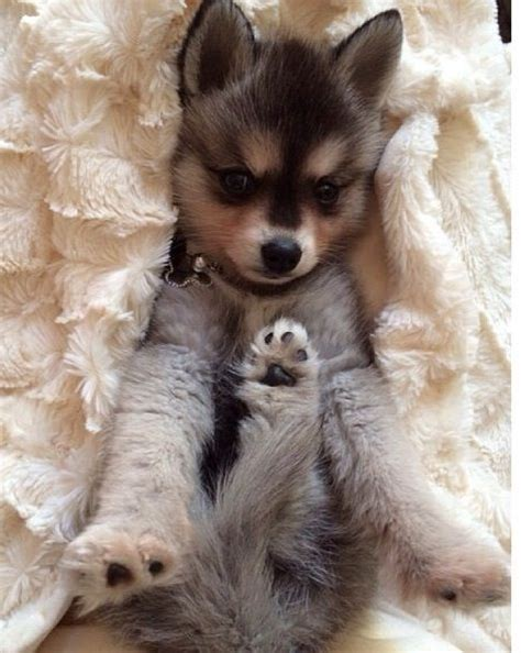 klee puppy alaskan klee puppy animals i am puppys and look at