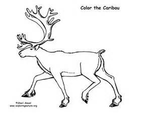 caribou color caribou coloring page
