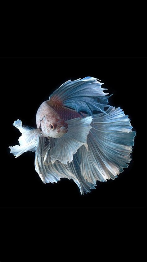wallpaper for iphone fish apple iphone 6s wallpaper with silver albino betta fish in