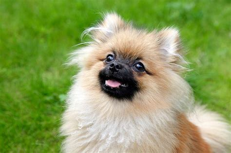 do pomeranian shed do pomeranians dander cuteness