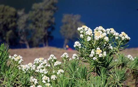 fakta bunga edelweis  jarang diketahui oleh