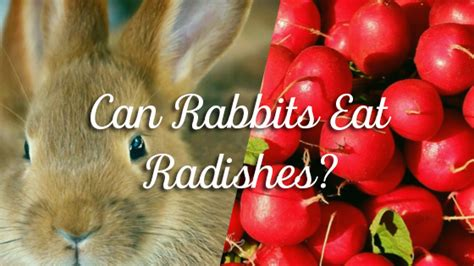 can dogs radishes can rabbits eat radishes pet consider