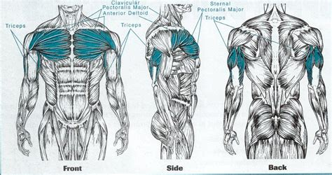 muscles used bench press individual exercises lifting for health page 2