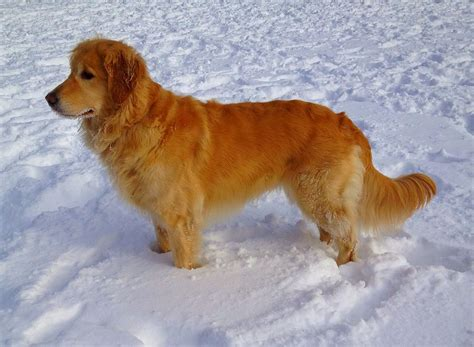 snow golden retrievers file goldenretrieversnow jpg wikimedia commons