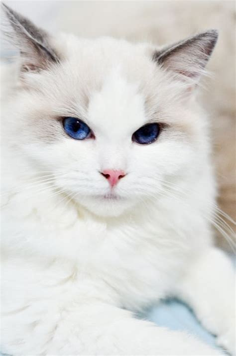 25 Amazing Pictures about Ragdoll Cats and The Facts You