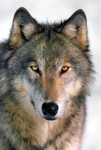 wolf s montana fwp holding hearings tonight on increasing wolf