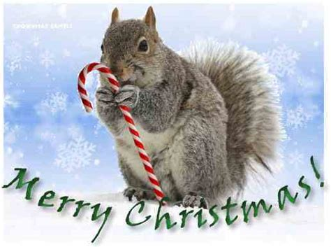 merry christmas squirrel  candy cane crownmaxcom