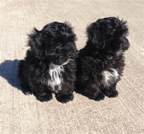 shih poo puppies pin shih poo puppies for sale in stirling ontario pets on