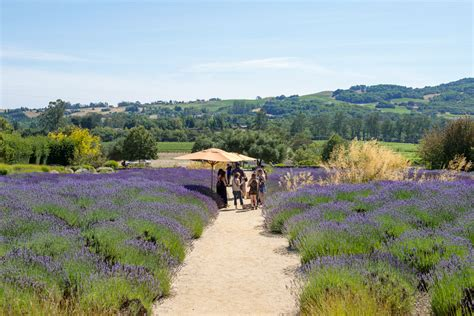 the lavender gardens at matanzas creek winery