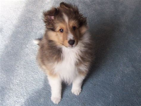 Collie Puppy PicturesCorgi Puppy Pictures