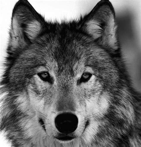 imagenes lobo negro eva gey ilustraci 243 n fox scratchboard