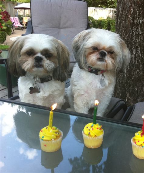 shih tzu birthday shih tzus birthday sosey pups