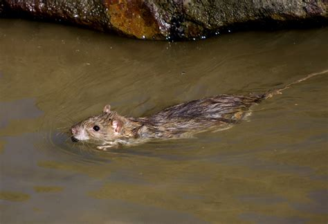 new year water rat rat swimming waiting for birds to photograph when this