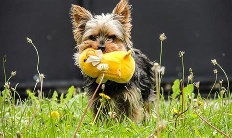 yorkie has diarrhea terrier diarrhea causes symptoms and treatments