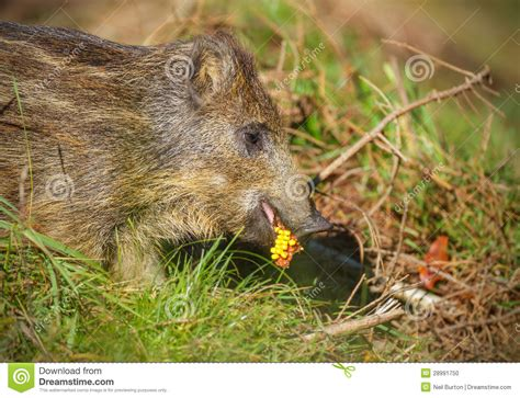 young wild boar eating corn stock photo image 28991750