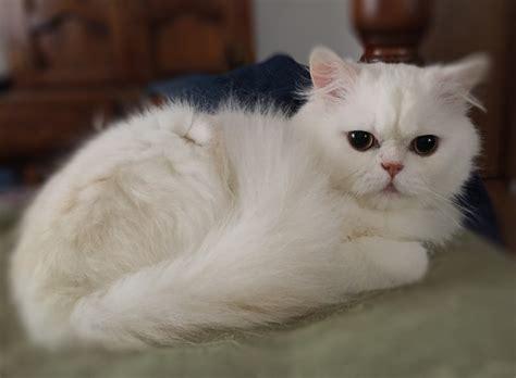 seattle purebred rescue 9 purebred cat rescue groups meow lifestyle
