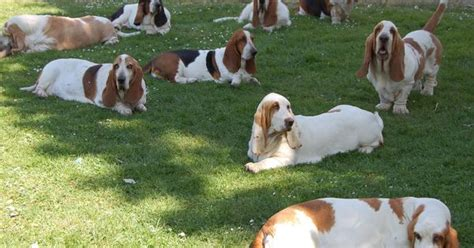 pets you can find in your backyard can you imagine waking up to find 50 bassets relaxing in