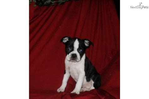 boston terrier puppies for sale in ny boston terrier puppies for sale island new york breeds picture
