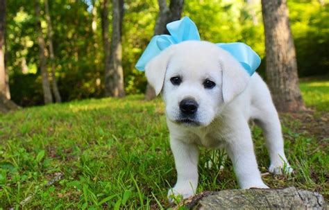 white lab puppies for sale in florida 1000 ideas about white labrador on white lab labrador retriever and labs