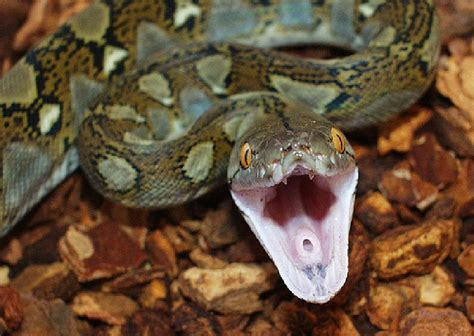 7 Techniques On Caring For A Python by Reticulated Python Facts Photos Information