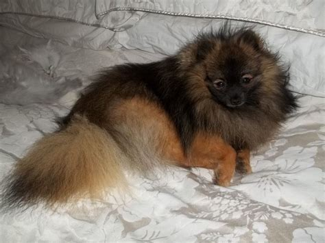 wolf pomeranian for sale stunning wolf kc reg pomeranian for stud thornton cleveleys lancashire