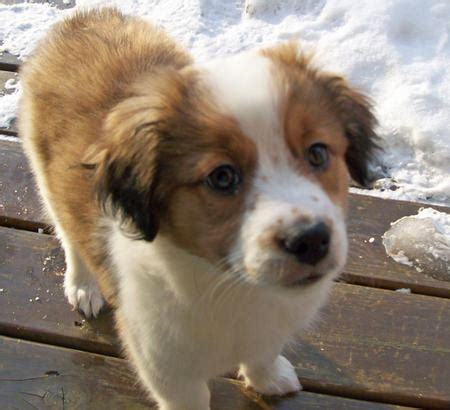 st bernard australian shepherd mix puppies for sale stunning st bernards on bernards st