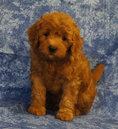 My Doodle Darlins Goldendoodle Breeder Morrilton Arkansas