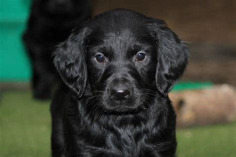 setter dog black black setter puppy gordon setter x irish setter