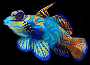 fish colors 25 best ideas about mandarin fish on