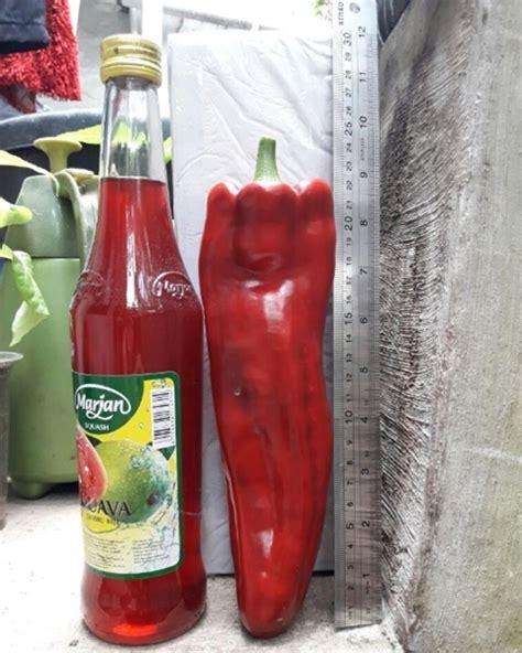 Benih Biji Tanaman Buah Paprika Pepper Sweet California benih paprika sweet italian 5 biji non retail bibitbunga