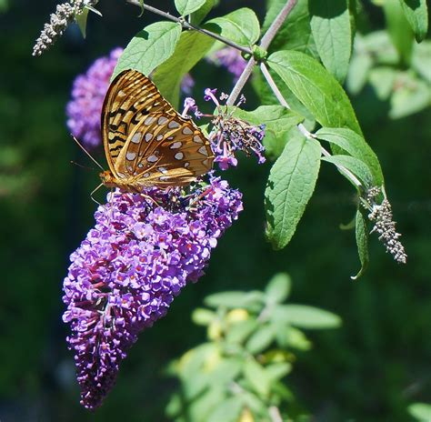 butterfly bush how to plant grow and care for buddleia the old farmer s almanac