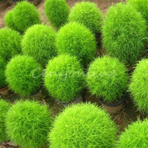 200x seeds kochia scoparia grass plant summer cypress rare seed rapid grow gift ebay
