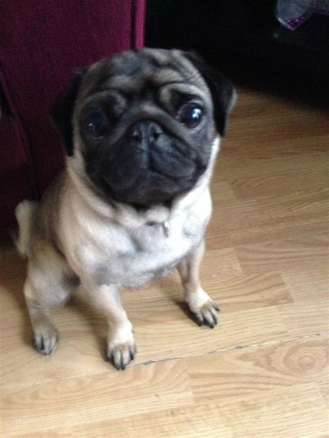 boy pugs for sale pug for sale dukinfield greater manchester pets4homes