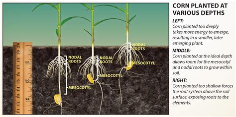 vegetable root depth ag phd information for agriculture corn planting depth