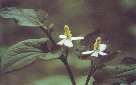 Yu Xing Cao Ekstrak Heartleaf Houttuynia Herb Herba Houttuyniae 2