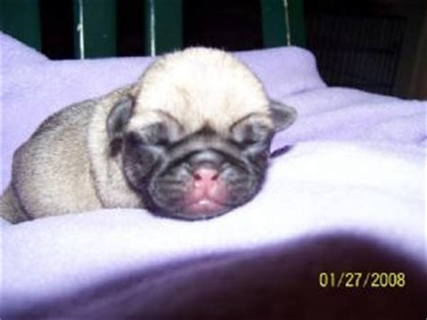 pug puppies for sale orlando fl pug puppies in florida