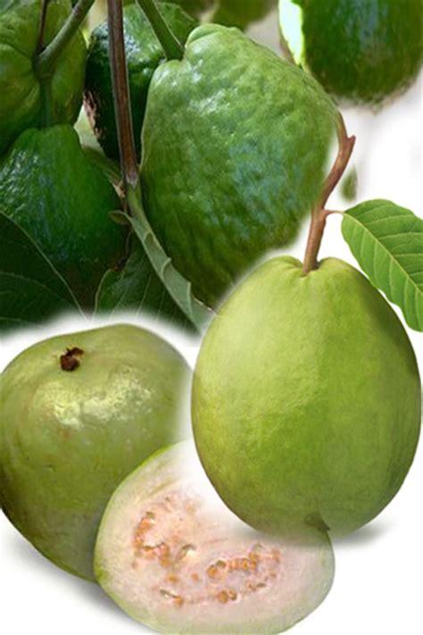 Tanaman Strawberry Guava Jambu Leci jambu batu
