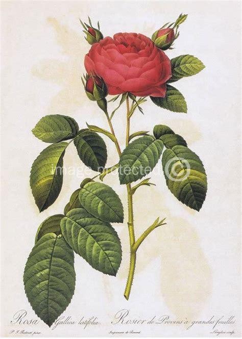 botanical flower carnation italian 11 single botanical flower vintage 11x17 poster ebay